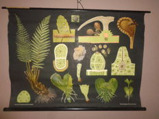 "Beautiful very old botanical school poster of the ""Fern"""