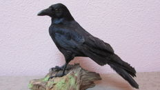 Taxidermy - Common Crow on natural base - Corvus corone - 31 x 34cm