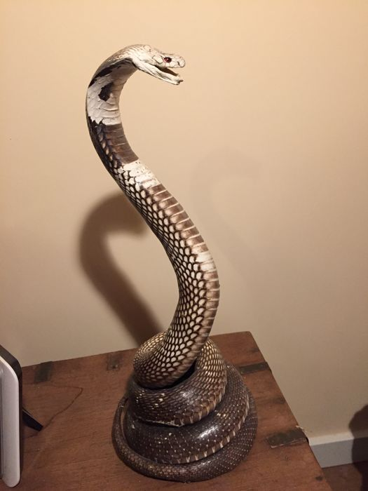 Vintage taxidermy - fine example of a mounted King Cobra