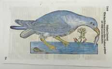 Conrad Gesner (1516-1565) - One leaf with large woodcut - Ornithology: Waterbird Gull - 1669