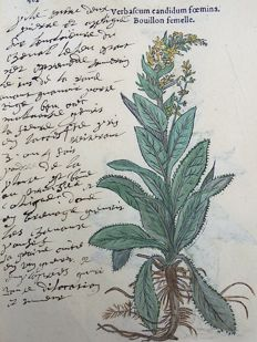 Leonhard Fuchs - Leaf with 2 botanical woodcuts - Mullein [Scrophulariaceae] ; Verbascum - hand coloured - 1549