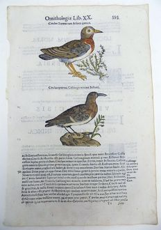 Ornithological print on 1 leaf with 2 large woodcuts - Ulisse Aldrovandi (1522 – 1605) - Birds, Dipper [Cinclus cinclus] - 1637