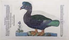 Conrad Gesner (1516-1565) - One leaf with 2 large woodcuts - Ornithology: Waterbird - Muscovy Ducks - 1669