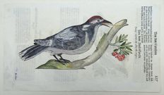 Conrad Gesner (1516-1565) - One leaf with 2 large woodcuts - Ornithology: Woodpeckers - 1669