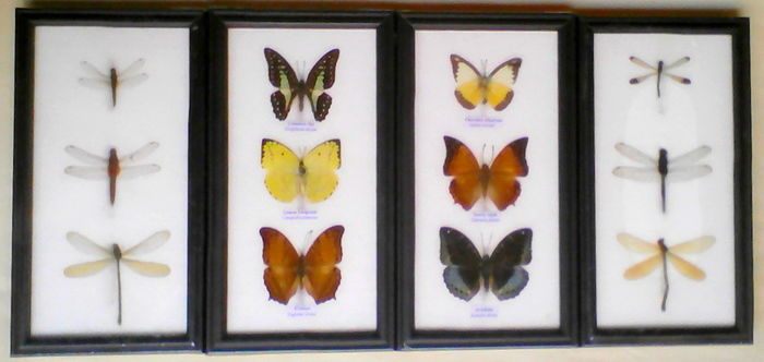 Fine collection of Butterflies and Dragonflies - 25 x 13,5cm  (4)