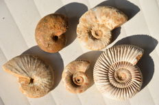 Lot of ammonites and nautilus from the Madagascar Oxfordian - 505 g - with mother-of-pearl (5)