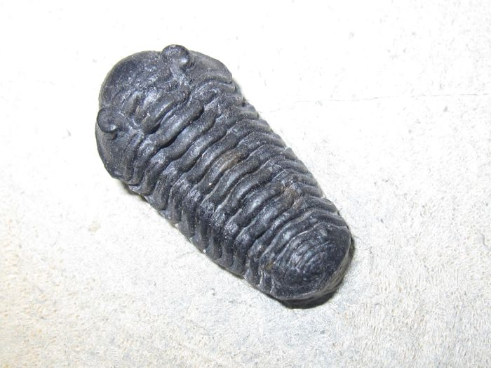 Beautiful Trilobite double - Acastoides and Gerastos - 23 and 11 mm