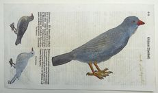 Conrad Gesner (1516-1565) - One leaf with 3 large woodcuts Ornithology: Ring Ousel Thrush - 1669