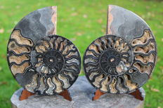 Black Ammonite Aioloceras sp. - 174 x 143 mm - 958 g