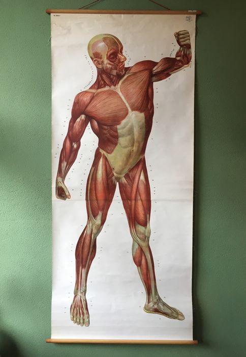 School Poster Muscle Tissue Anatomy Catawiki