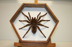 Fine Bird-eating Spider in custom-glazed, standing Display Case - Theraphosidae sp. - 26cm - 560gm