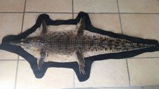 Taxidermy - Nile Crocodile skin, with nicely mounted head - Crocodylus niloticus - 94 x 40cm - CITES Import Ref. No. 17/PTLX008781