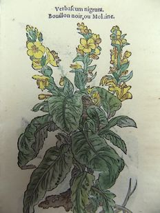 Leonhard Fuchs [1501 - 1566] - 2 botanical woodcuts - Verbascum [ Mullein ] ; Verbascum sylvestra - With manuscript descriptions - 1549