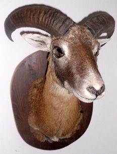 Taxidermy - vintage Mouflon trophy on fine oak shield - Ovis a. musimon - 57cm - 6kg