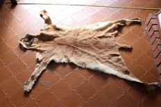 Taxidermy - vintage Puma skin, some claws missing, with damaged tail - Puma concolor - 140 x 80cm