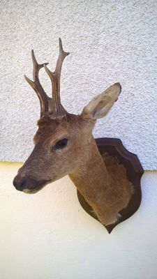 Vintage French taxidermy - Roebuck mount on wall-shield - Capreolus capreolus - 59 x 29 x 37cm