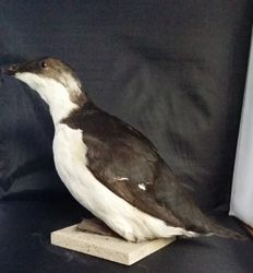 Taxidermiy - Thick-billed Murre - Uria lomvia - 20cm