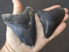 Fossil shark teeth  - Carcharodon Megalodon - 10.7 and 9.3 cm (2)