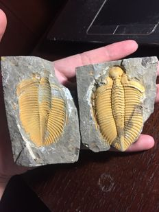 Positive and negative sides of a trilobite - Coronocephalus sp. - 8.5 x 7cm
