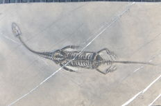 Swimming reptile - Keichousaurus hui - 17.5 cm (18.5 cm in stretched position)
