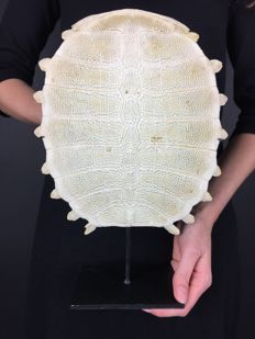 Chinese Softshell Turtle carapace skeleton, with stand - Pelodiscus sinensis - 32 x 24cm