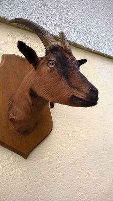 Vintage taxidermy - Goat head on wall-plaque - Capra aegagrus hircus - 45 x 33 x 39cm