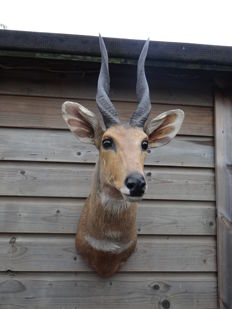 Taxidermy - Kewel, or Harnessed Bushbuck shoulder-mount - Tragelaphus scriptus -  30 x 75 x 50 cm