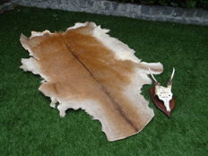 Taxidermy - Fallow Deer skin, with vintage Skull on oak shield - Dama dama - 130 x 85cm and 17 x 30 x 15cm   (2)