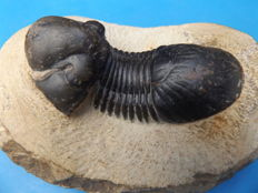 Trilobite - Paralejurus dormitzieri - 61 mm