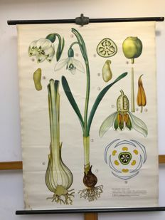 "Beautiful old botanical school poster ""Snowdrop"""