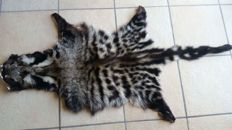 Vintage taxidermy - extra large African Civet skin, with full head - Civettictis civetta - 135 x 71cm