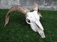 Large, well-prepared Ram skull with fine, curved horns - Ovis aries - 42 x 28 x 18cm