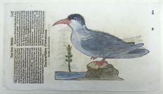 One leaf with a 2 large sized ornithological wood blocks - Conrad Gesner (1516-1565) - Water Birds: Sea Gulls- 1669