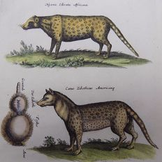 Matthäus Merian ( 1621 –1687) - hand colored copper engraving - Hyena, Zibet, Aquatic Mouse, Tlaquatzin  - 1657