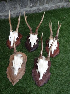 Collection of Roebuck Trophies on shields - Capreolus capreolus - 26 x 30cm  (5)
