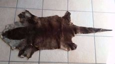 Vintage taxidermy - African Clawless Otter skin -  Aonyx capensis -  140 x 58cm