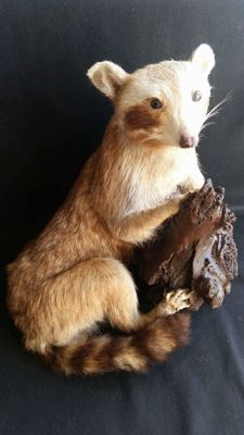 Vintage taxidermy - pale form Common Raccoon - Procyon lotor - 40 x 28cm - 3.9kg