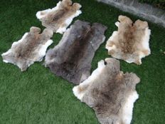 Xtra Large brown Common Rabbit skins - Oryctolagus cuniculus - 40 x 60cm  (5)