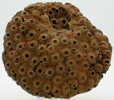 Large Fossil Coral colony - Phillipsastrea sp. - 14,4 x 13,6cm - 622gm