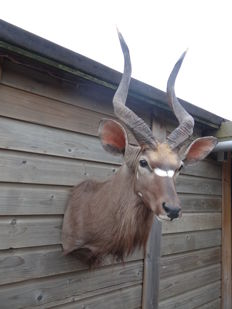 Highest quality Taxidermy - Nyala shoulder-mount - Tragelaphus angasii - 45 x 110 x 65 cm