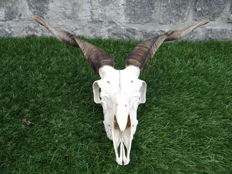 Racka or Wallachian Sheep skull - Ovis aries - 41 x 18 x 32cm