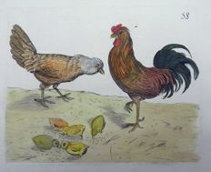 Pierre Remi Willemet (1735 - 1807) - Ornithology - Poultry, Chickens, Chicks - Master engraving - 1794