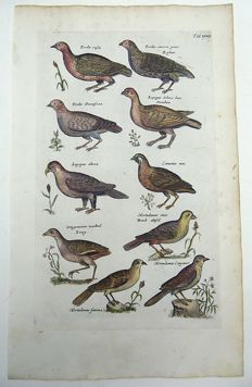 Matthäus Merian ( 1621 –1687) - hand colored copper engraving - Ornithology: Grouse, Partridges, Game Birds,  - 1657
