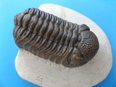 Trilobite fossil- Phacops rana africana - 63 x 35 mm (7.9 in extended position)