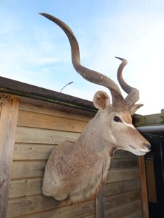 Vintage taxidermy - Greater Kudu shoulder-mount - Tragelaphus eurycerus - 150 x 95 x 85cm