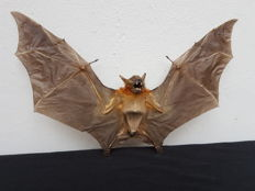 Taxidermy - extra large Lesser Short-nosed Fruit Bat, with open wings -  Cynopterus brachyotis - 31 x 23cm