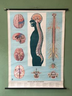 School poster Brain and spine anatomy
