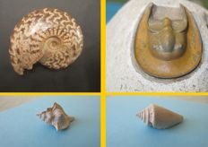 Lot of four fossils: Trilobite Harpes sp ; Ammonite Cleoniceras ; Gastéropodes (Murex and Conus) (4)