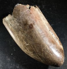 Part of the tusk of a Deinotherium sp.  15 cm