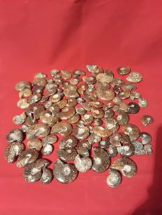 A large collection of 100 polished ammonites  Cleoniceras sp. - 20 mm x 45 mm - ( 100 pcs ).